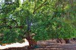 Die Eiche von Pyrgos tis Rigainas im Akamas - Auswandern und Leben auf Zypern