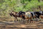Ziegenherde im Akamas-Gebiet - Auswandern und Leben auf Zypern
