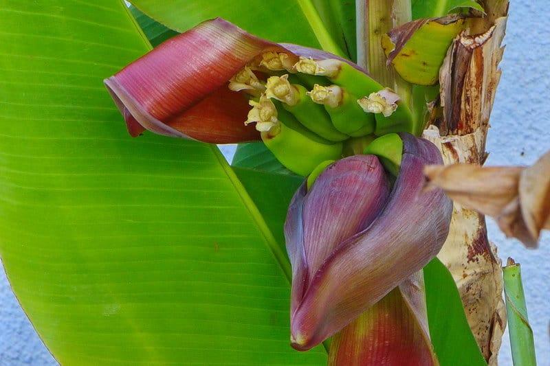 Bananenblüte auf Zypern - Auswandern und Leben auf Zypern