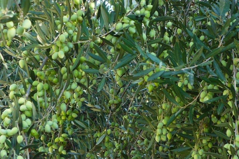 Oliven auf Zypern - Auswandern und Leben auf Zypern