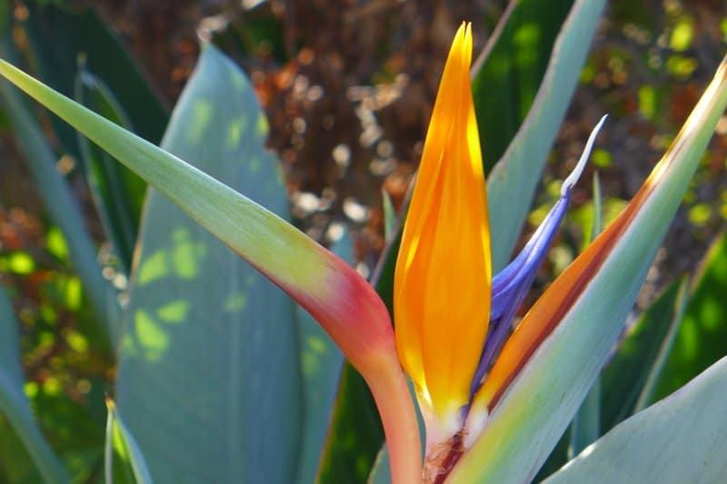 Bird of Paradise Blüte auf Zypern - Auswandern und Leben auf Zypern